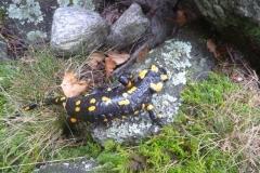 Une-belle-salamandre-Iragna-Tessin